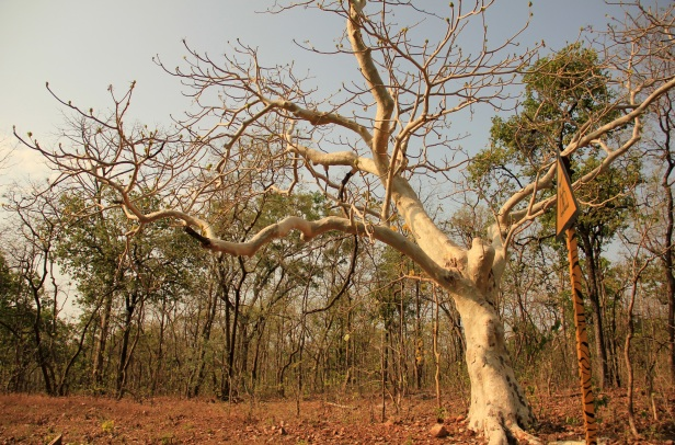 tadobaghosttree