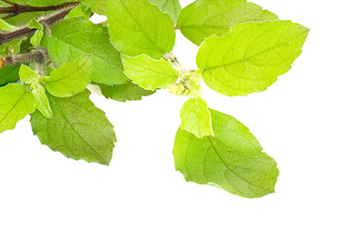 tulsi - home remedy for virus
